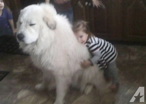 great pyrenees puppies for sale in ohio malamute great pyrenees pups for sale in bay view ohio classified