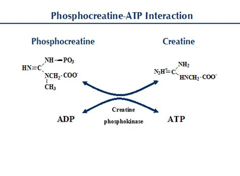 creatine p kinase all about creatine precision nutrition