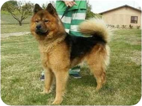chow chow german shepherd mix romeo adopted id a061869 auburn ca chow chow german shepherd mix