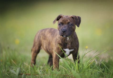 staffordshire bull terrier puppies staffordshire bull terrier puppies for sale akc puppyfinder