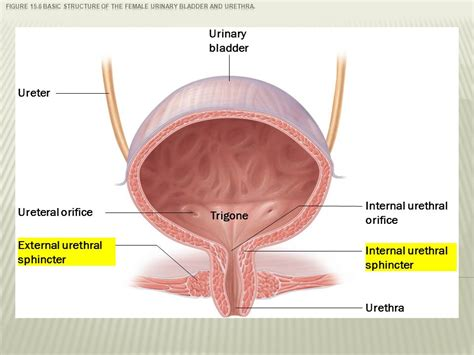diagram of bladder and diagram bladder images how to guide and