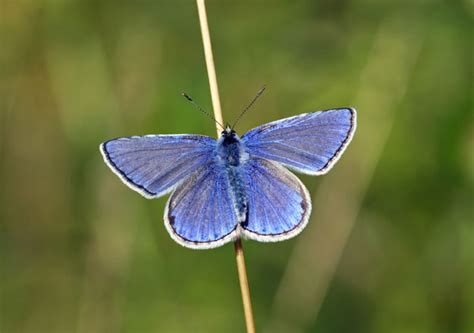 Small Blue butterfly conservation common blue