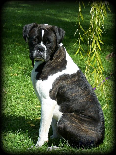 german boxer puppies black boxer breeders images