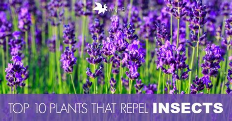top 10 plants that repel unwanted insects all natural home and beauty