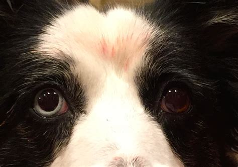 dogs dilated genetics do any dogs blue iris not just sclera biology stack exchange