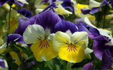Balkonpflanzen Pflegeleicht Winterhart by Balkonpflanzen Pflegeleichte Sorten F 252 R Sonnige Und