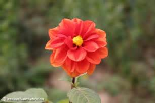 flower pictures dahlia picture flower pictures 3764
