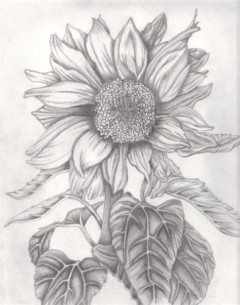 drawing images for sunflower pencil drawing sunflower pencil drawing pencil sketch drawing drawing gallery