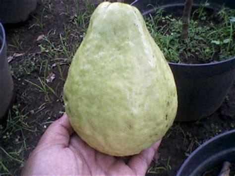 Bibit Kelengkeng Pingpong Malang bibit buah bunton malang