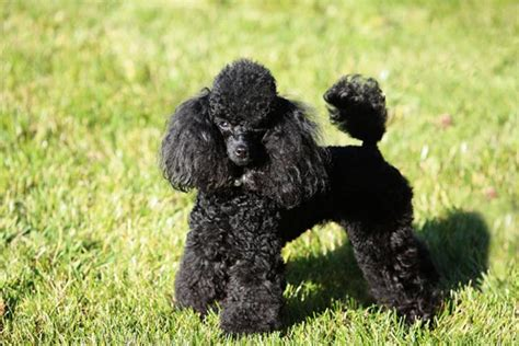 are poodles dogs poodle puppies for sale from reputable breeders