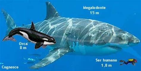 would a pod of 15 orcas be able to kill a small 10m 30 tonne megalodon quora