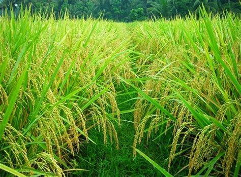 cara membuat zpt tanaman padi cara budidaya tanaman padi secara baik dan benar