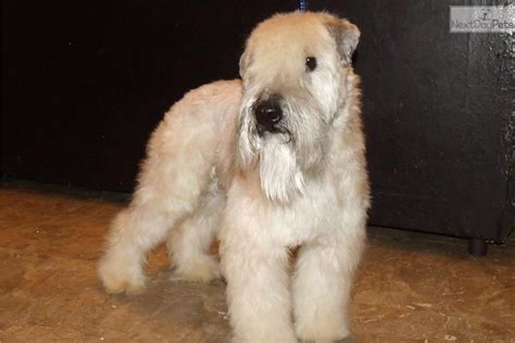 whoodle puppies for sale near me whoodle puppy for sale near los angeles california 916691c9 1131