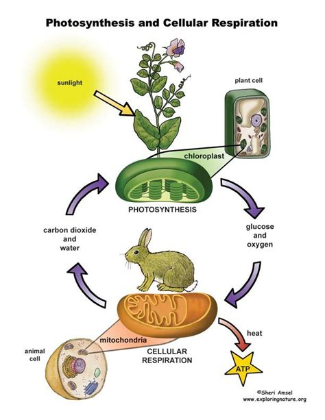 photosynthesis diagrams great diagram for teaching photosynthesis and respiration