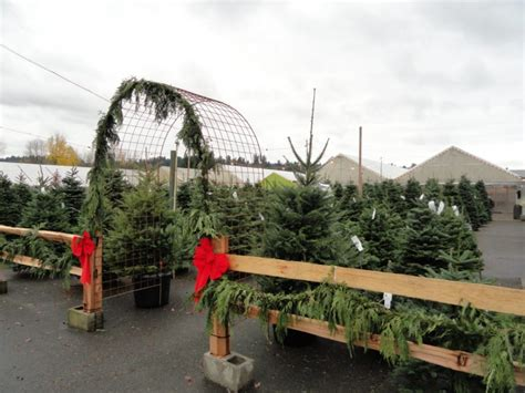 where to buy living christmas trees where to buy or rent trees cut living or