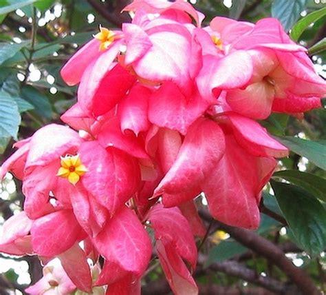 Bibit Tanaman Buah White Pome 40cm tanaman nusa indah pink pink mussaenda jual tanaman