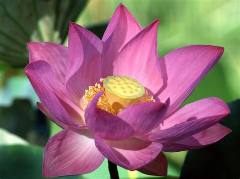 lotus flower purple lotus flower nurture therapies nurture therapies