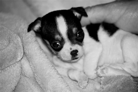 black and white puppy could this puppy join the circus