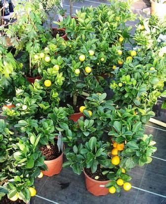 mini fruit trees 73 best mini fruit trees images on fruit trees