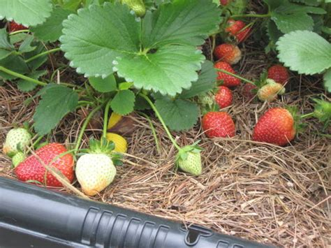 container strawberry gardening a container garden made easy abundant mini gardens