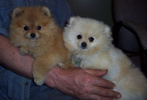 pomeranian rescue ontario pomeranian puppies for sale pomeranian puppies for sale in ontario canada