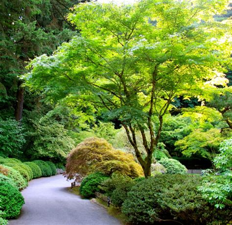Awesome Cottage Gardens Nursery #5: Japanese-Maple.jpg