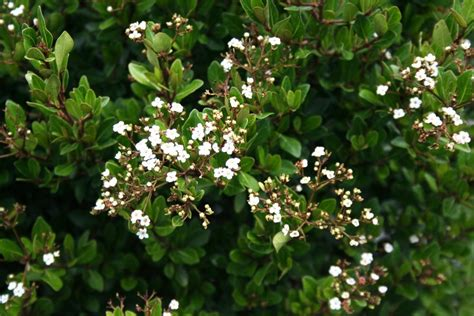 small shrub with white flowers grandiflora wholesale nursery products