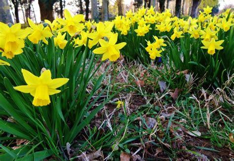 arti bunga daffodil  ciri ciri bunganya bibitbungacom