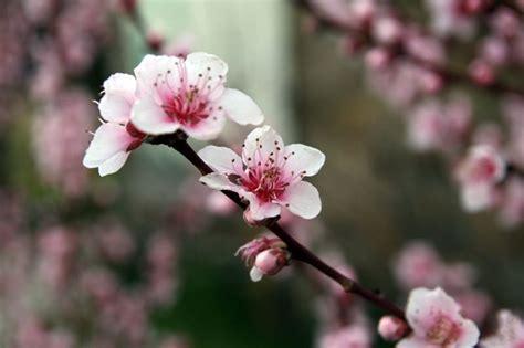fiori pesco il pesco non fiorisce domande e risposte orto e frutta