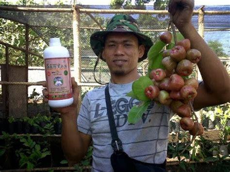 Pupuk Cair Hormon Hantu jual pupuk cair organik jimmy hantu hormon tanaman unggul