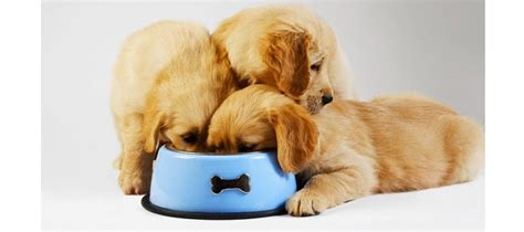 feeding golden retriever golden retriever feeding tips pets world