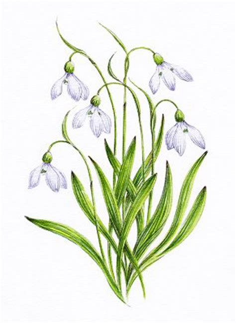 snowdrop tattoo designs snowdrop pictures pics images and photos for inspiration