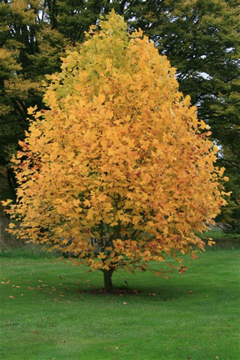 Buy Tree - buy tulip tree liriodendron tulipifera delivery by crocus