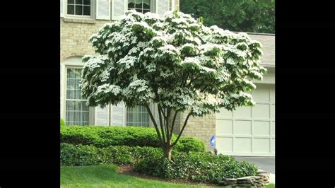 shade tree for small backyard top 28 small shade trees smaller shade trees for your