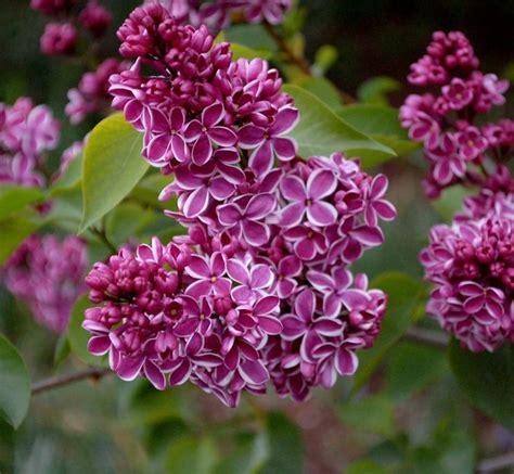 pianta lilla in vaso fiori lill 224 fiori di piante caratteristiche dei fiori
