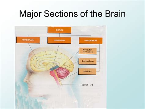 three main sections of the brain major sections of the brain ppt download