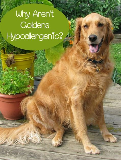 how much are golden retrievers hypoallergenic golden retriever not so much