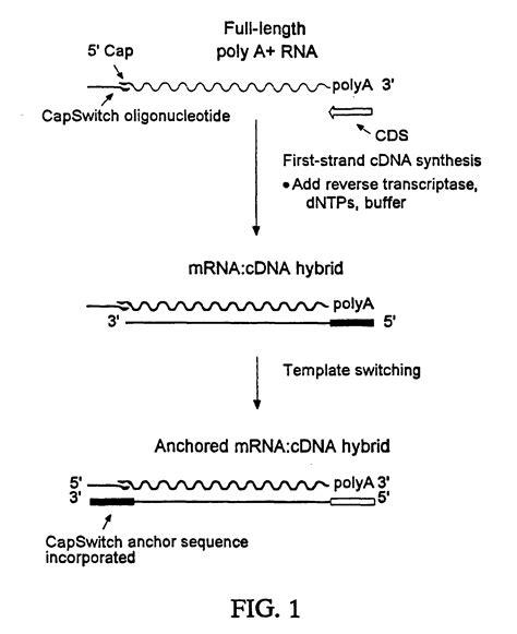 Patent Ep0871780b1 Methods For Full Length Cdna Cloning Google Patents Template Switching Oligo