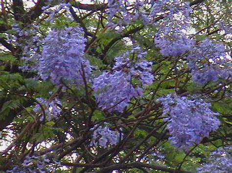 my india travel flowering trees jacaranda
