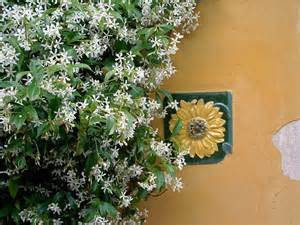 jasmine plant care how to grow jasmine vines