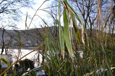 bambus winter bambus im winter 2012 frostsch 228 den