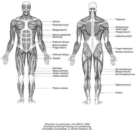 how muscles work powertec