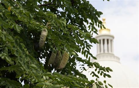 Neat Plant Alert ? Kentucky Coffee Tree Near Little Rock Capitol   Arkansas Native Plant Society