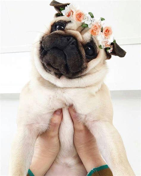 pug acronym the 25 best pugs ideas on