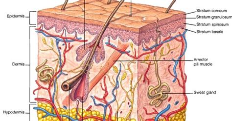 diagram of the skin skin diagram anatomy dermis epidermis functions health