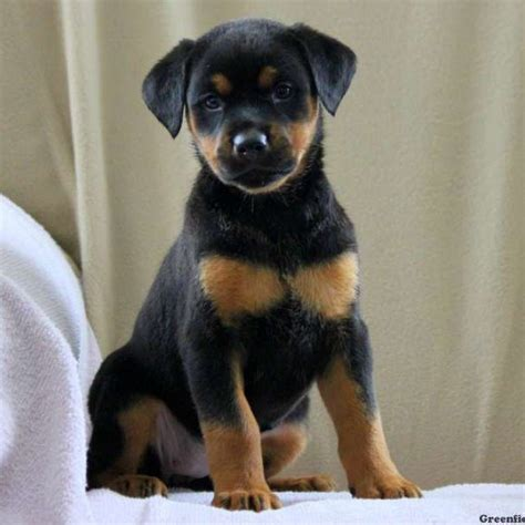 rotterman puppies rotterman puppy for sale in pennsylvania