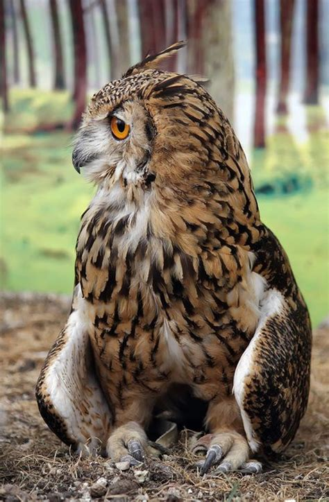 17 best images about owls on pinterest short eared owl