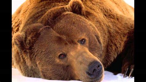 oso pardo oso pardo oso pardo youtube