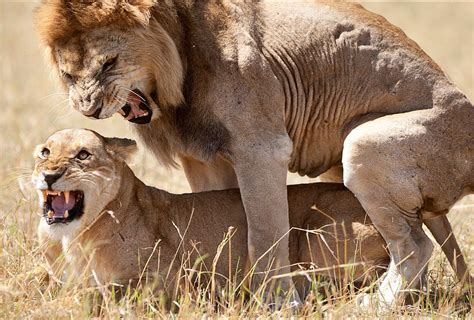 imagenes de leones las mejores 193 frica los mejores destinos para ver fauna salvaje