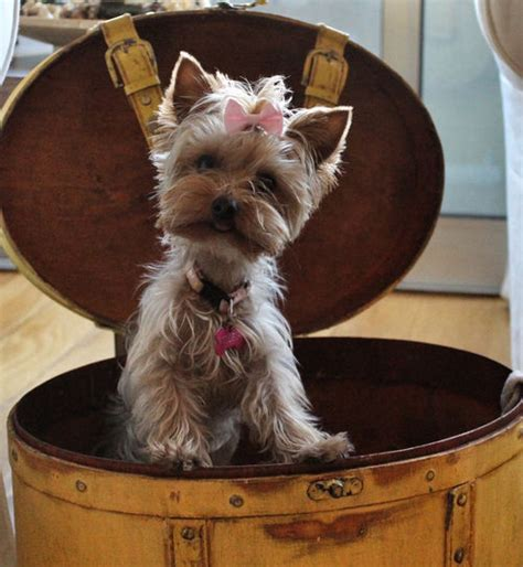yorkies with bows teacup yorkie with pink bow pictures photos and images for